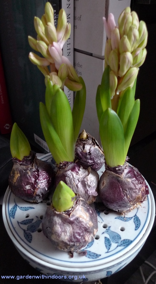 Ann Mary hyacinths in bulb bowl