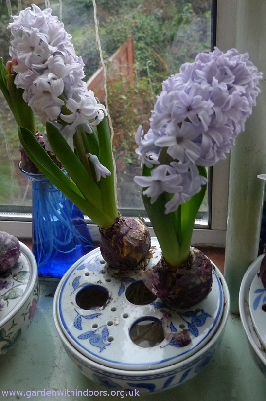 Carribean Dream forced hyacinths