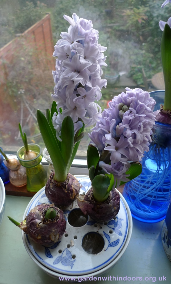 forced Caribbean Dream hyacinths in bulb bowl