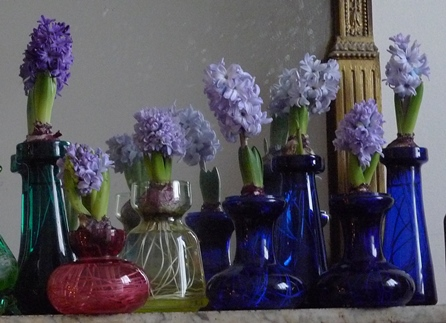 hyacinths in bloom on Christmas Day