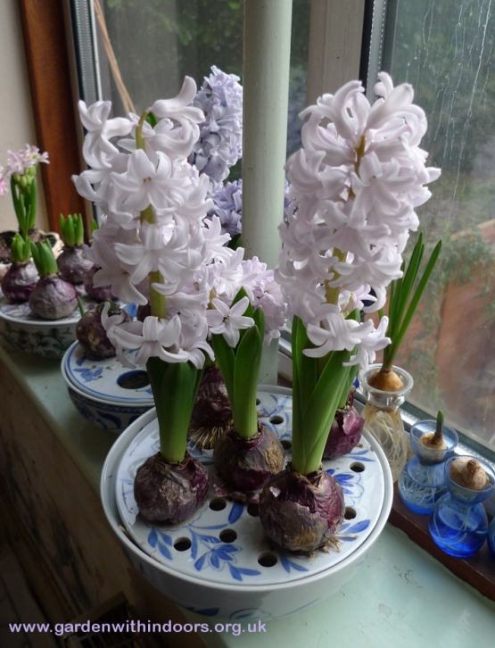 forced City of Bradford hyacinths in bulb bowl