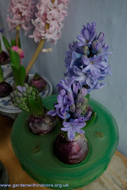 Davidson bulb bowl hyacinths in bloom
