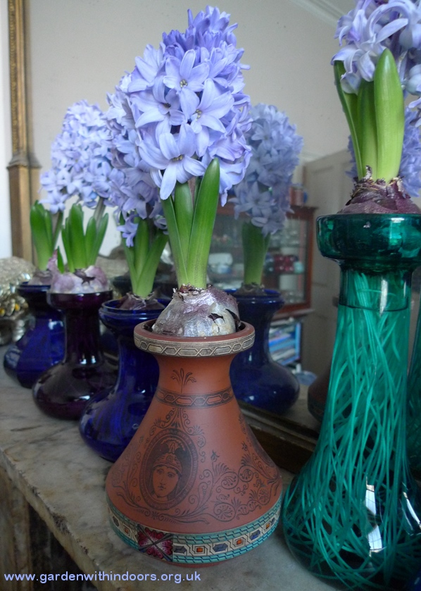 forced hyacinth in terracotta vase