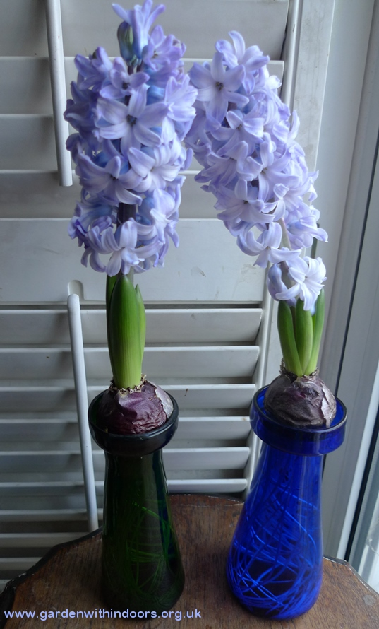 forced delft blue hyacinths in antique hyacinth vases