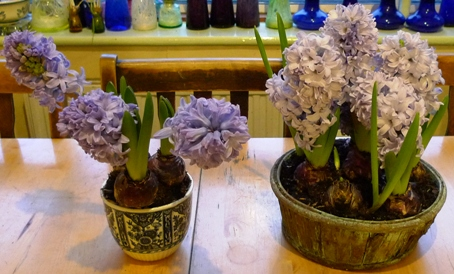 Delft blue hyacinths in pots