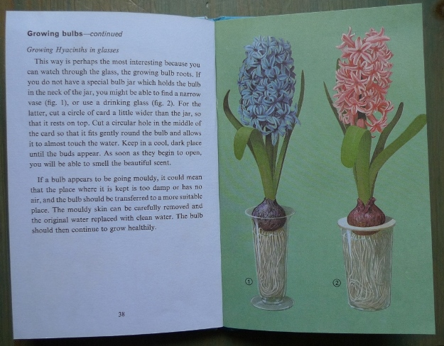 Growing Hyacinths in glasses Ladybird