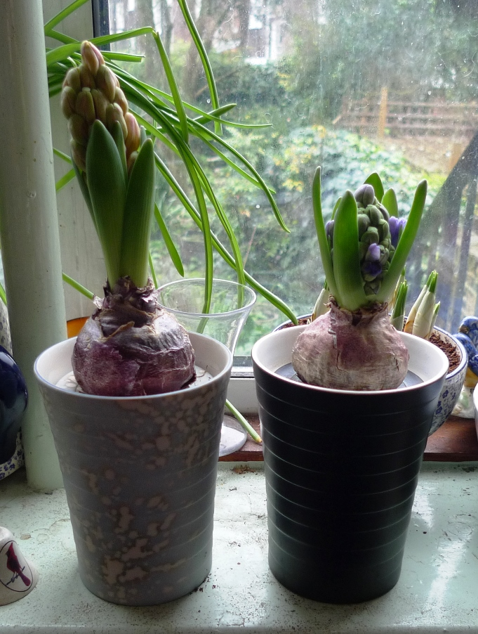 Garden withindoors there is nothing half so much worth doing as messing about with bulbs - Planting hyacinths pots ...
