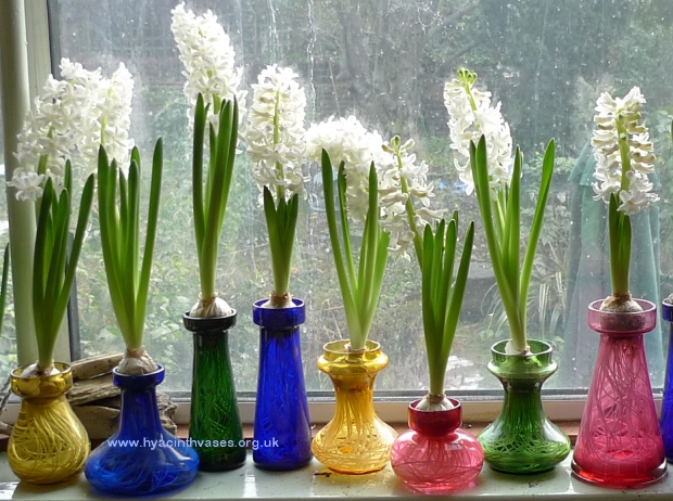 Linnocence forced hyacinths in hyacinth vases