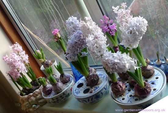 Lady Derby  forced hyacinths
