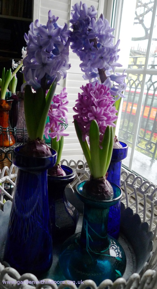 Miss Saigon and Delft Blue forced hyacinths