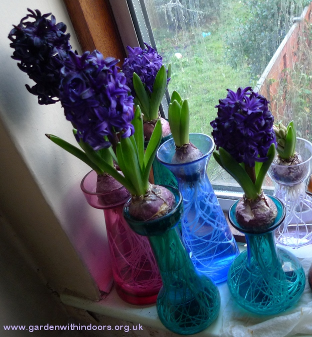 pacific ocean forced hyacinths