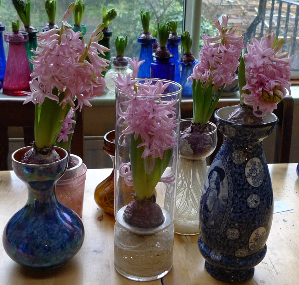 20122013 forcing results garden withindoors forced pink pearl hyacinths reviewsmspy