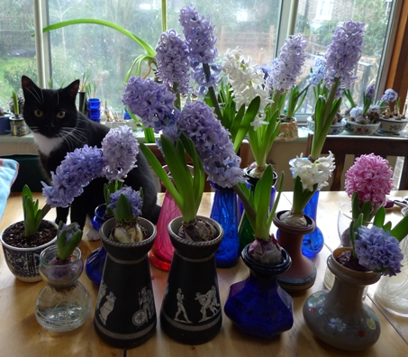 cat and hyacinths