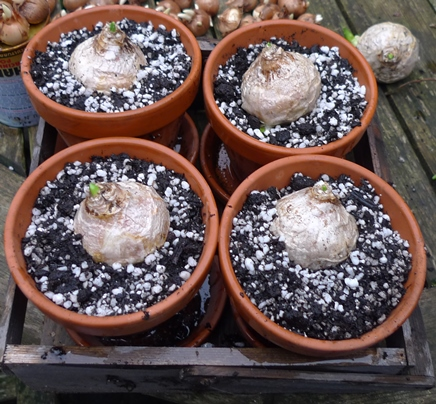white pearl hyacinth bulbs in pots