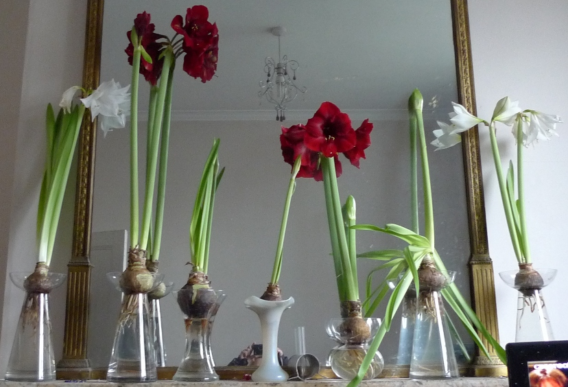Amaryllis Garden Withindoors