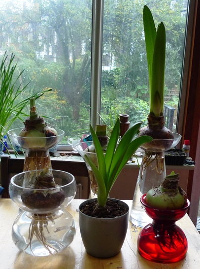 Paperwhites amarylis some new vases garden withindoors for Vase amaryllis