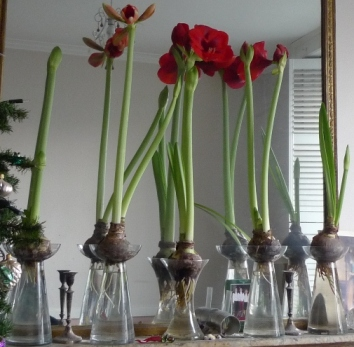 Faqs garden withindoors for Vase amaryllis