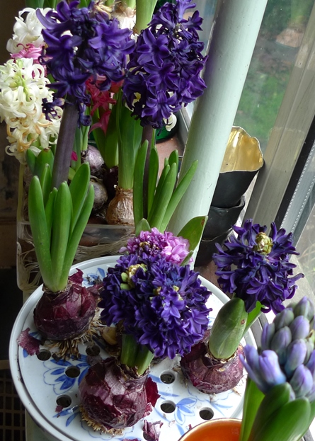 hyacinths blooming in bulb bowl