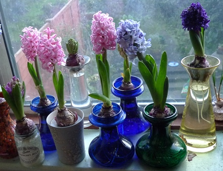 hyacinths blooming in hyacinth vases