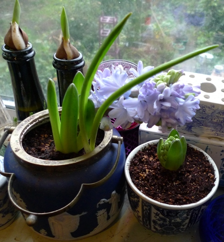 biscuit barrel used as a hyacinth planter