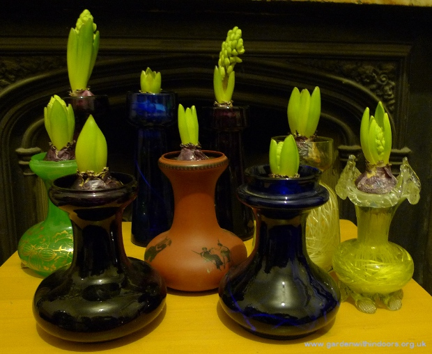 hyacinth bulbs in hyacinth vases in bud