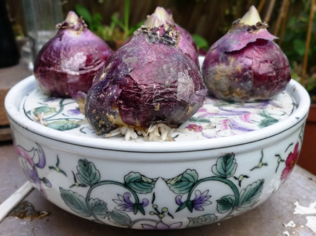 hyacinth bulbs on bulb bowl lid
