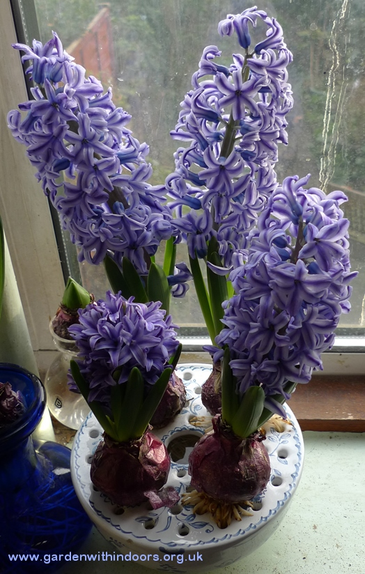 Blue Jacket hyacinth in Mottahedeh bulb bowl