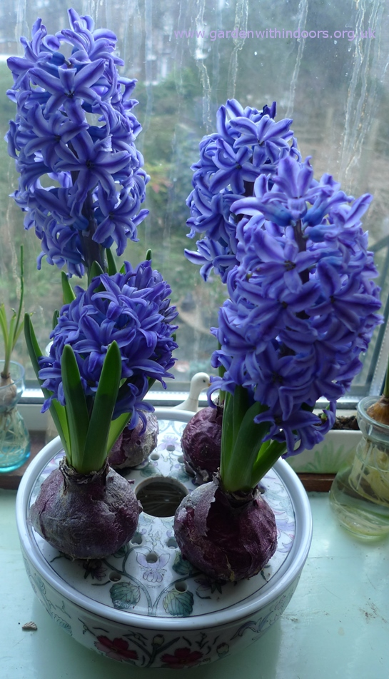 bulb bowl forced Blue Jacket hyacinths