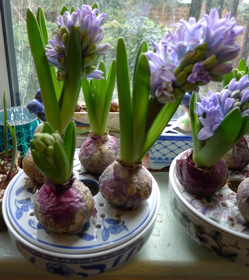 Hyacinths First Week Of January 2014 Garden Withindoors