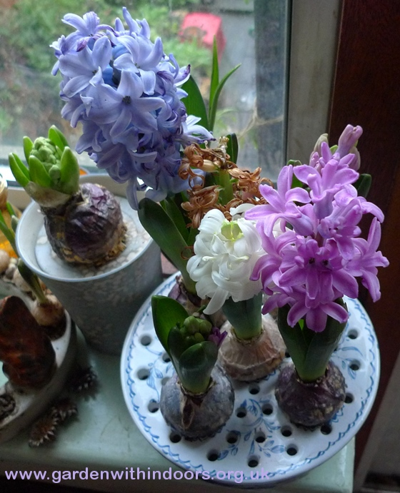 bulb bowl with hyacinths in bloom