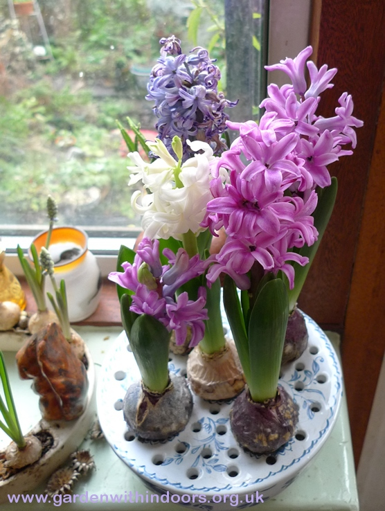 bulb bowl with hyacinth bulbs in bloom