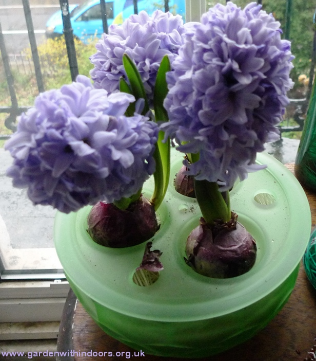 Blue Star hyacinths in Davidson bulb bowl