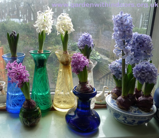forced hyacinths in vases and bulb bowl