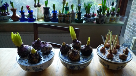 hyacinths and crocus forced in bulb bowls