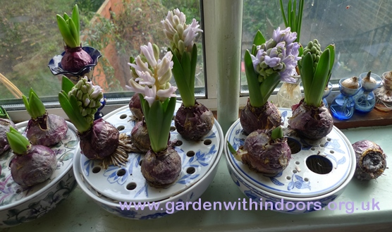 bulb bowls with forced hyacinths