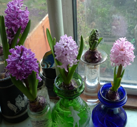 comparison of hyacinth colours