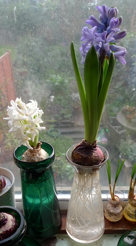 hyacinths in forcing vases