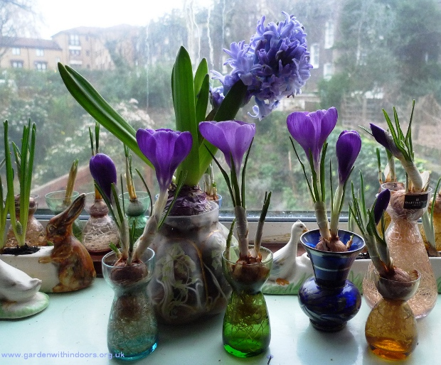 forced crocus in vases