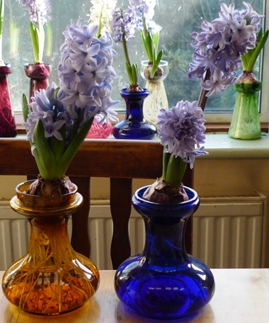 double-stemmed Delft Blue hyacinths