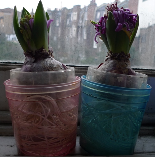 purple sensation failed hyacinths
