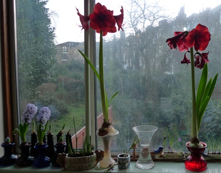 amaryllis in forcing vases