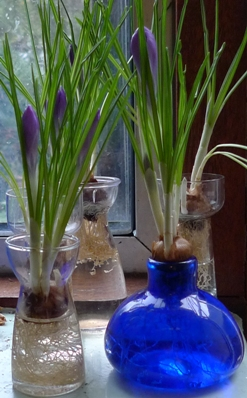 crocus forced in vases