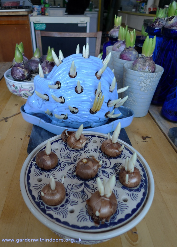 crocus bowl Wedgwood hedgehog with crocus bulbs