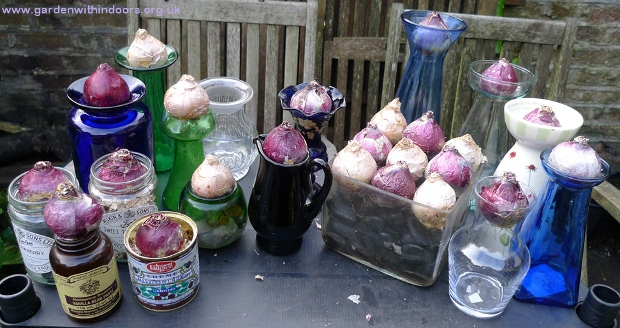 how to force hyacinth bulbs