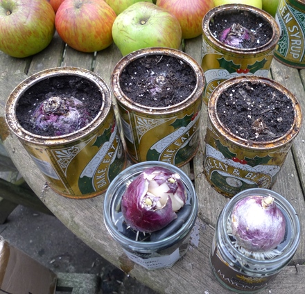 golden syrup tins with hyacinth bulbs