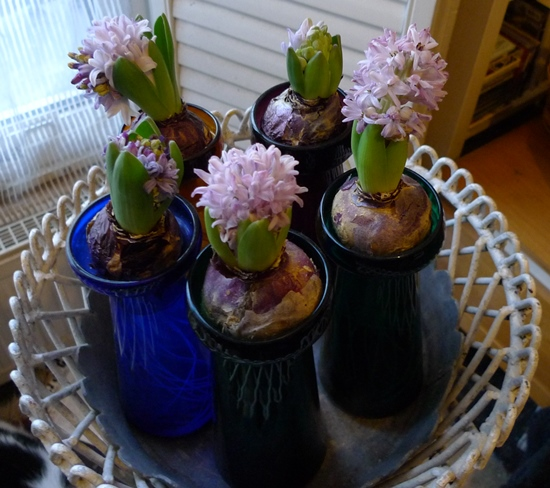 forced hyacinths poor