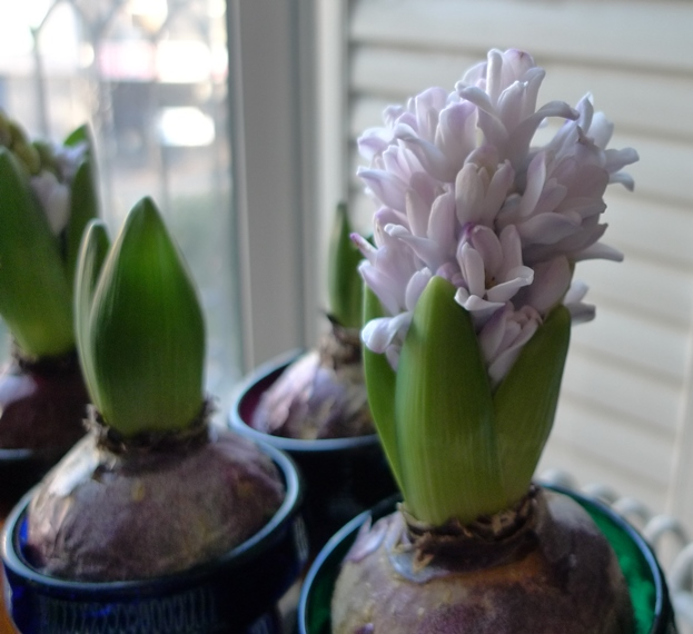 forced hyacinth flower