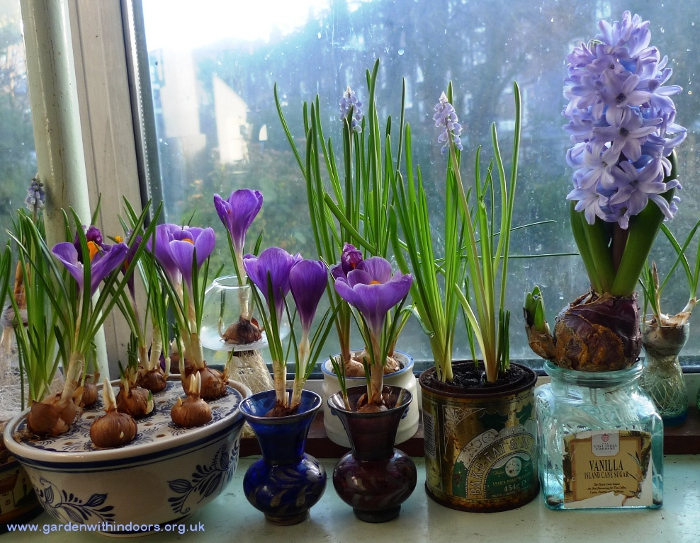 forced hyacinth and crocus