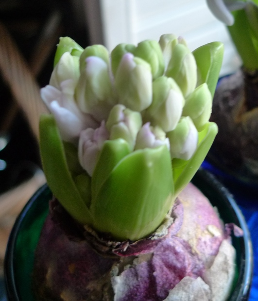 forced hyacinth buds
