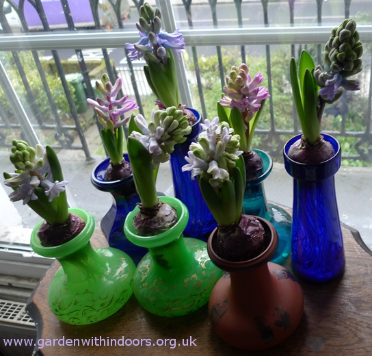forced hyacinth buds just opening